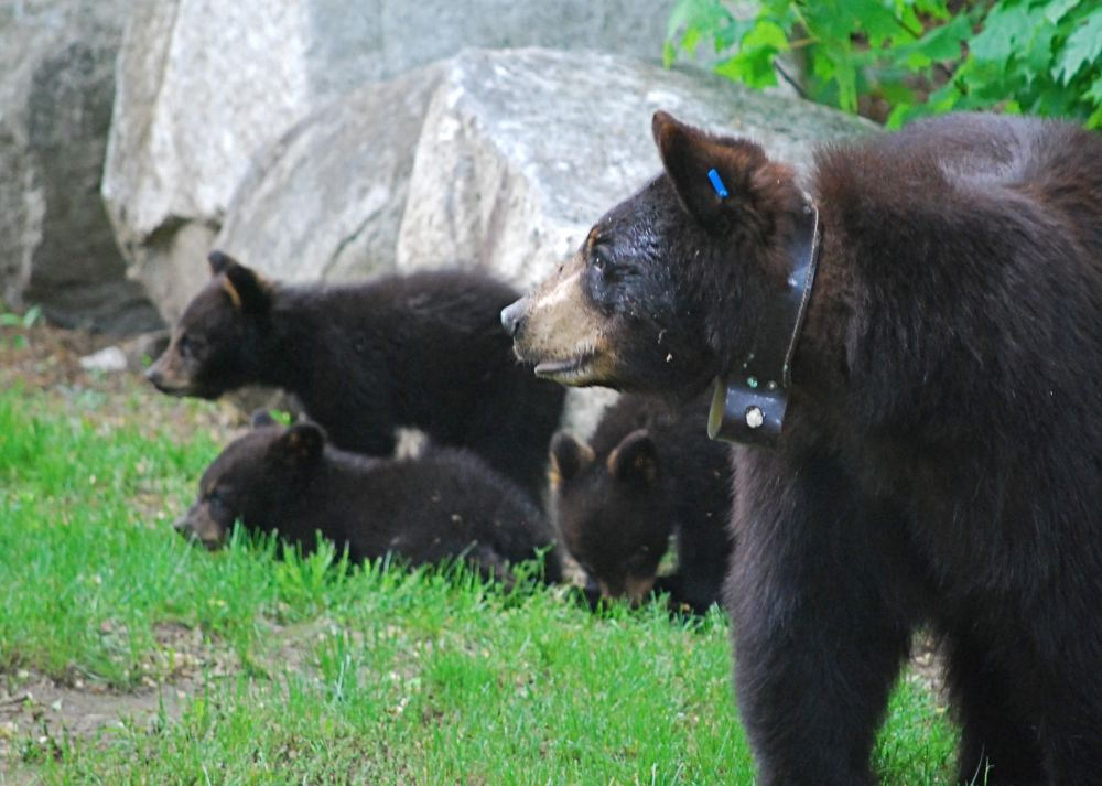 bears A