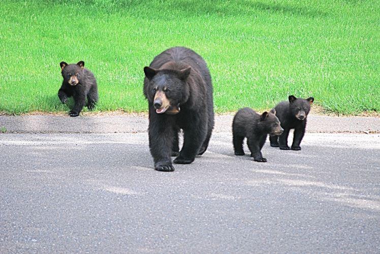 bears b