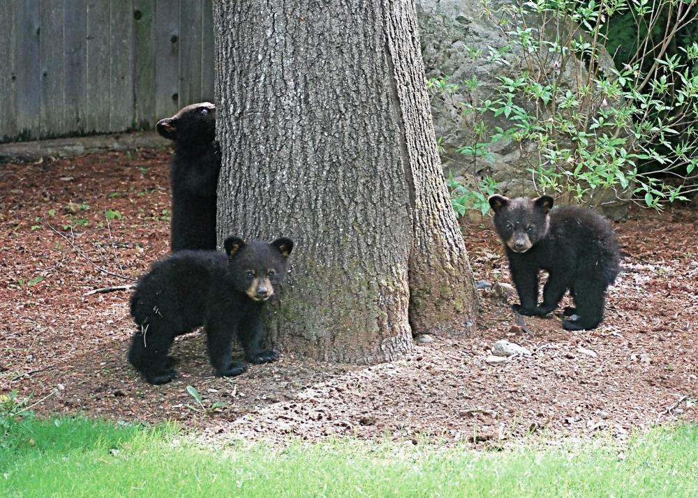 bears c